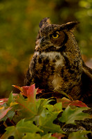 Great Horned Owl in Fall