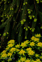 Yellow Flowers and Pine Boughs