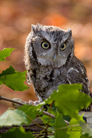 Gray Screech Owl and Leaves